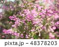 植物 花 ジャノメエリカの写真 48378203