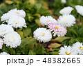 花 チロリアンデージー デージーの写真 48382665