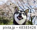 黒柴 桜 柴犬の写真 48383426