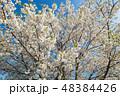 桜 春 葉桜の写真 48384426