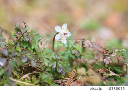 バイカオウレンの花 48386056