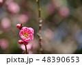 梅 ピンク 花の写真 48390653