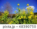 菜の花 48390750