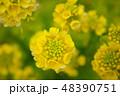 菜の花 48390751
