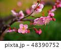 紅梅の枝 48390752
