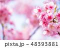 桜 河津桜 満開の写真 48393881