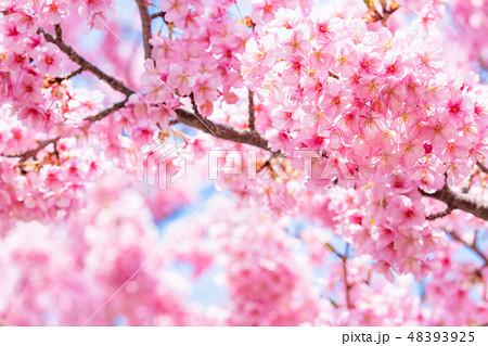 満開の河津桜【静岡県・河津町にて撮影】 48393925