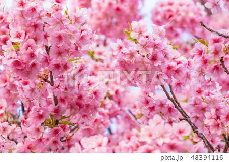 満開の河津桜【静岡県・河津町にて撮影】 48394116