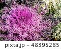 葉牡丹 植物 葉の写真 48395285