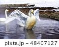 オオハクチョウ 屈斜路湖露天風呂付近 48407127