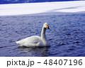 一羽のオオハクチョウ 屈斜路湖露天風呂付近 48407196