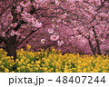 桜 菜の花 春の写真 48407244