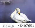 一羽のオオハクチョウ 屈斜路湖露天風呂付近 48407651