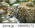 Portrait of a predatory spotted animal Leopard 48409172