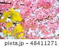 桜 河津桜 花の写真 48411271