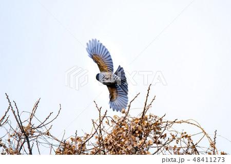 野鳥 48411273