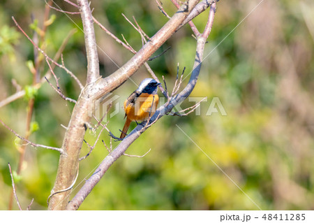 野鳥 48411285