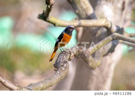 野鳥 48411286