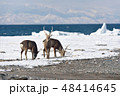 エゾシカ 流氷 冬の写真 48414645