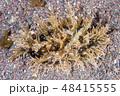 フレリトゲアメフラシ Bursatella leachii leachii de Blainvill 48415555