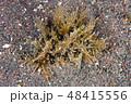 フレリトゲアメフラシ Bursatella leachii leachii de Blainvill 48415556