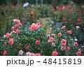 バラ 花 薔薇の写真 48415819