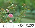 バラ 花 薔薇の写真 48415822