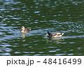 鳥 マガモ 水鳥の写真 48416499