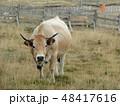 ジャジー牛 48417616