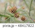杉 花粉 スギ花粉の写真 48417822