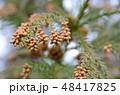 杉 花粉 スギ花粉の写真 48417825