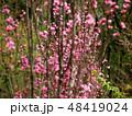 桃の花 花 植物の写真 48419024