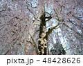 春 屋外 日本の写真 48428626