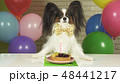 Fancy Dog Papillon eating birthday cake with candle 48441217