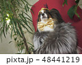 Papillon dog in beautiful suit in a fur coat and a concert hat with a butterfly is removed in the 48441219