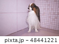 Papillon dog is blow dry after bathing in bathroom 48441221