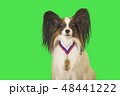 Beautiful dog Papillon with medal for first place on the neck on green background 48441222