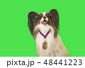 Beautiful dog Papillon with medal for first place on the neck on green background 48441223