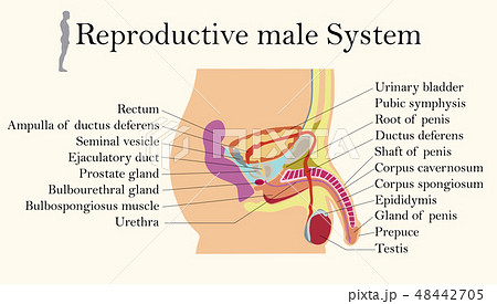Chart of Biology for Male Reproductive System  48442705