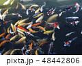 錦鯉 彩色鲤鱼 Japanese carp nishikigoi Koi 広島 お濠 カラフル 魚 48442806