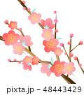 梅の花パーツ 48443429
