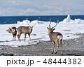 エゾシカ 流氷 冬の写真 48444382