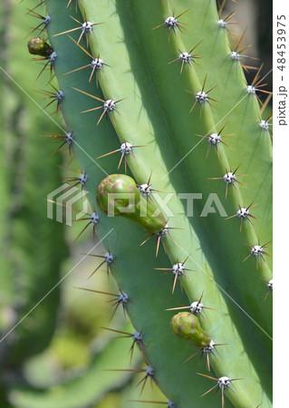Peruvian apple cactus 48453975