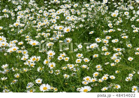 White daisy flowers 48454022