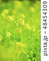 菜の花 黄色 花の写真 48454309