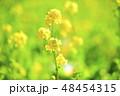 菜の花 花 アップの写真 48454315