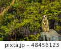 ミーアキャット 【動物】 48456123
