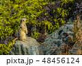 ミーアキャット 【動物】 48456124