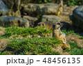 ミーアキャット 【動物】 48456135
