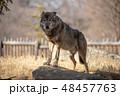イヌ科 タイリクオオカミ ハイイロオオカミの写真 48457763